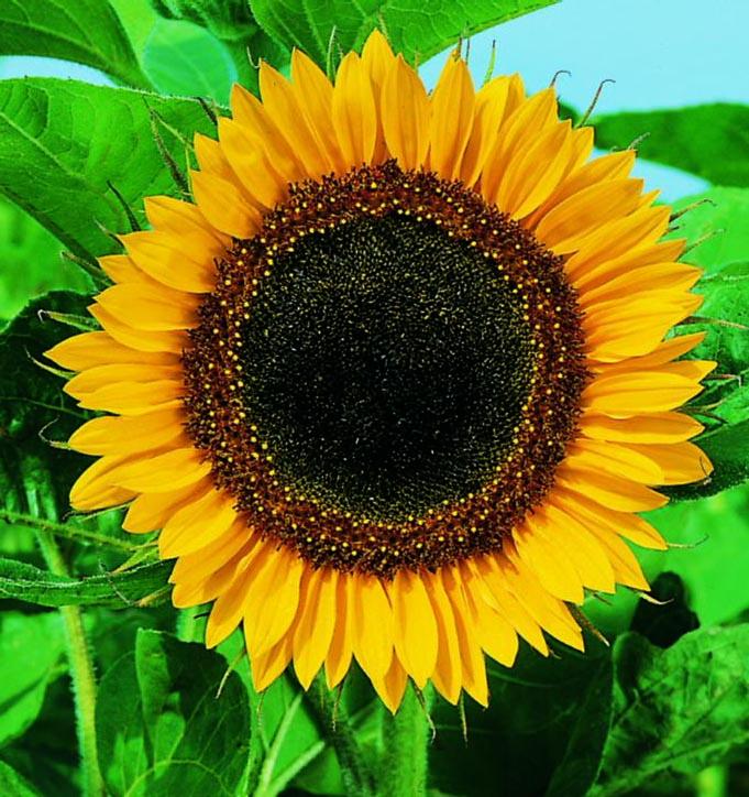 Sunflower Mammoth