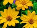 Tithonia Torch Yellow