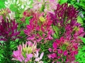 Cleome Mixed Colors