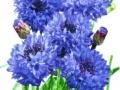 Cornflower Blue Boy