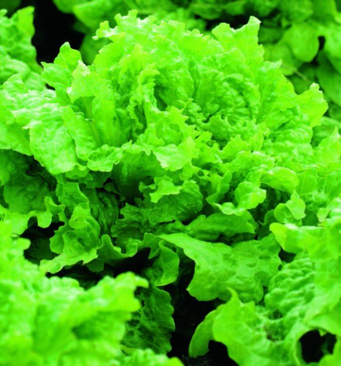 Lettuce Black Seeded Simpson