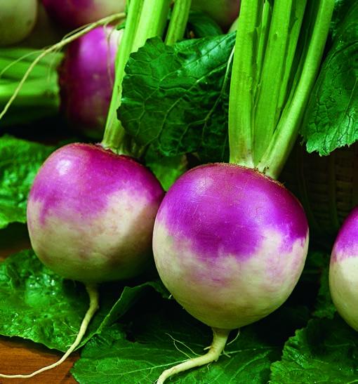Turnip Purple Top