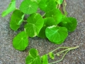 Micro-Greens Peppery Nasturtiums