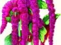 Amaranthus Love-Lies Bleeding