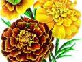 French Marigold Petite Mixed
