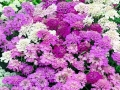 Candytuft Dwarf Fairy