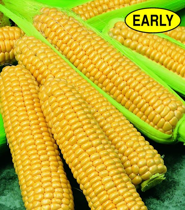 Corn Early Sunglow