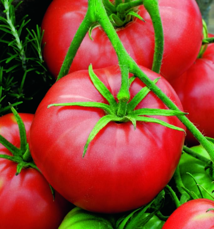 Tomato Burbank Slicing