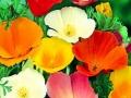 Poppy Calfornia Mixed